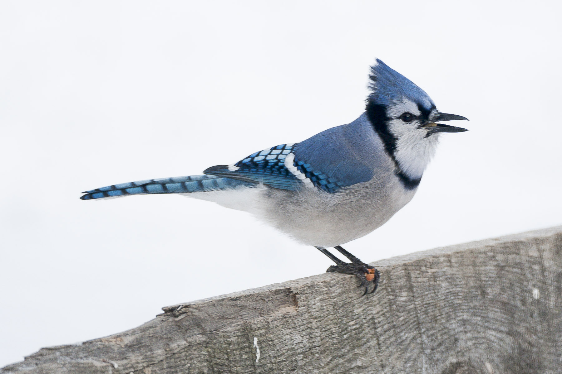 Blue jay feather meaning