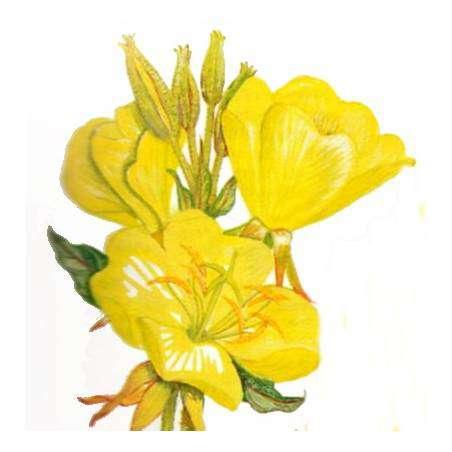 Primrose flower meaning