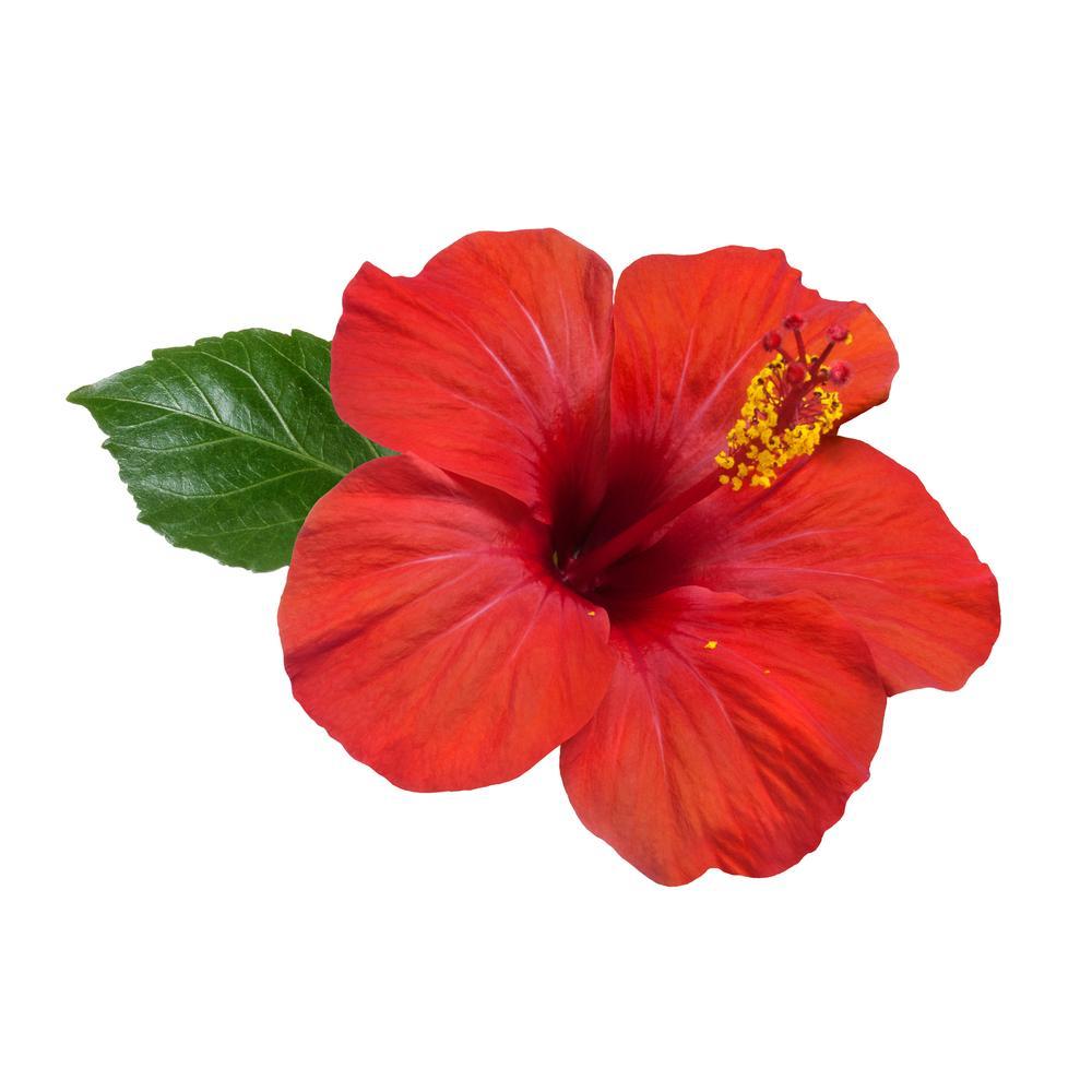 hibiscus flower spiritual meaning